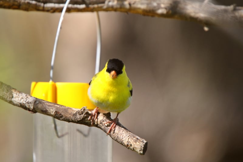 How to attract Finches to your yard