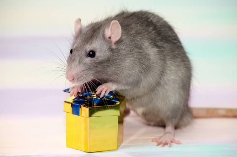 Gifts for rat lovers and owners