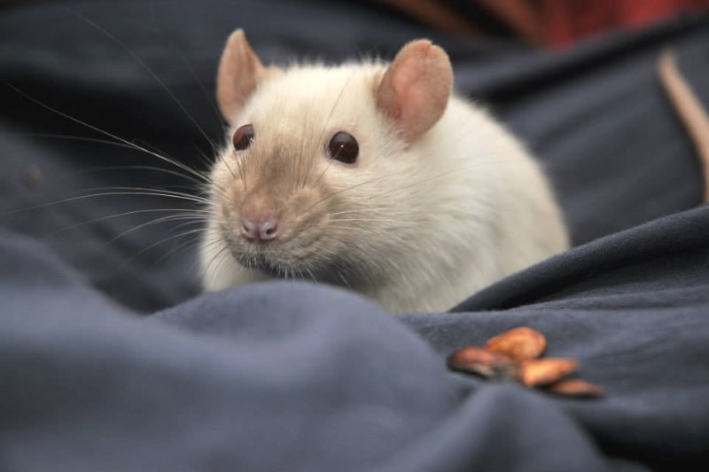 Respiratory issues & heart diseases in rats