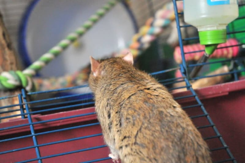 Pet Rats Respiratory Issues