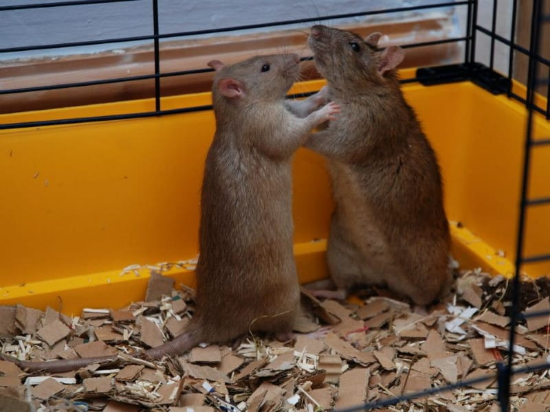 Are male or female rats more playful?
