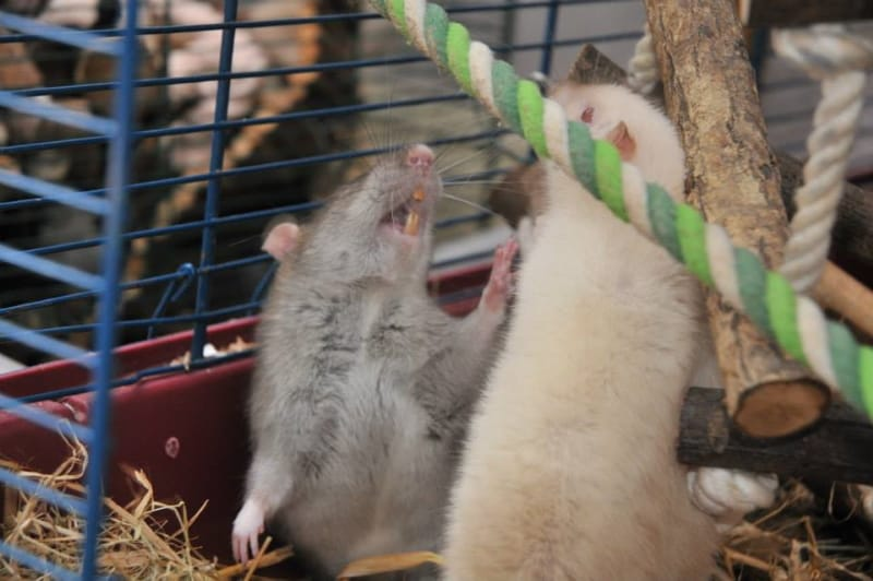 Do male or female rats make better pets?
