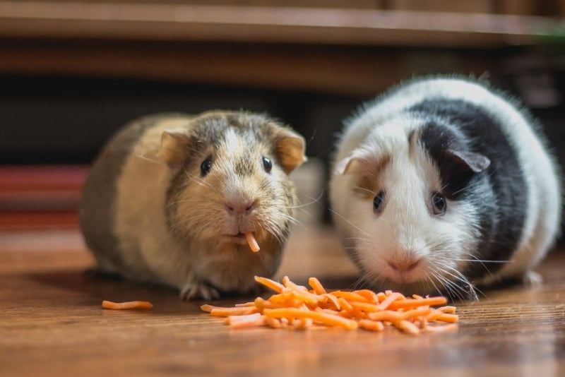 Things to know before adopting guinea pigs