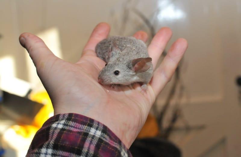Hand feeding treats to mice