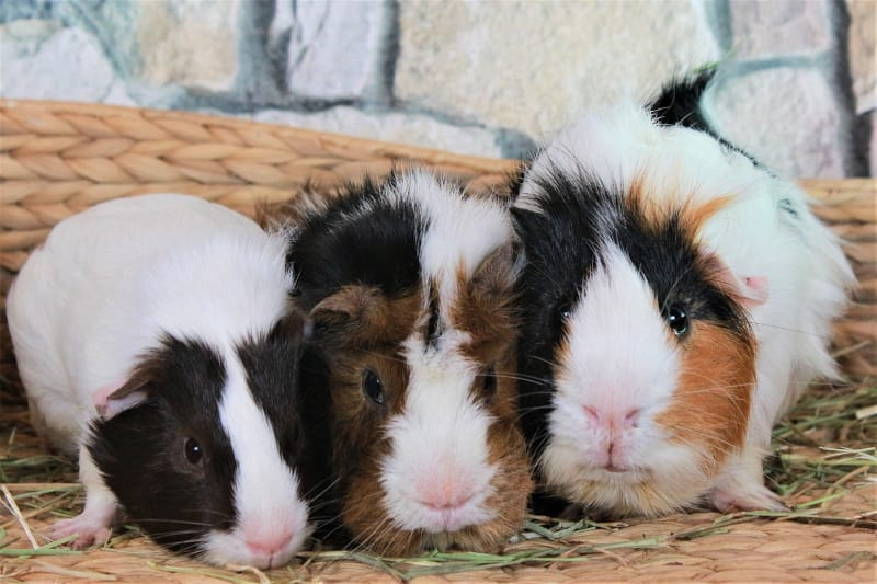 Keep guinea pigs in groups or pairs