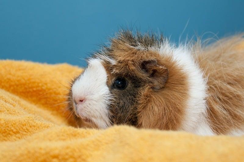 Grooming guinea pigs