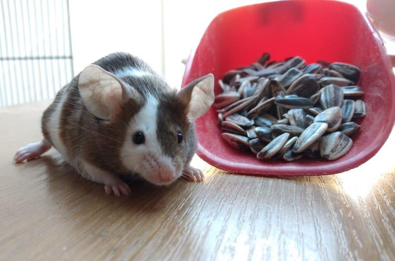 Mice treats