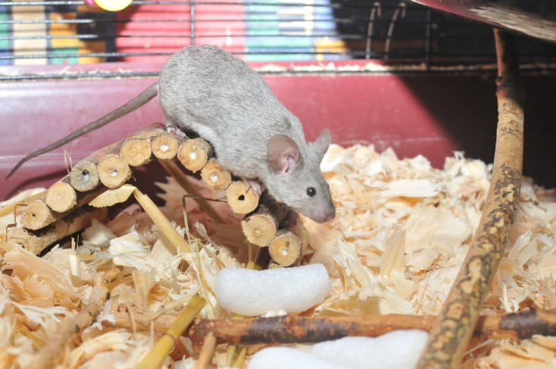 Pet mice substrate