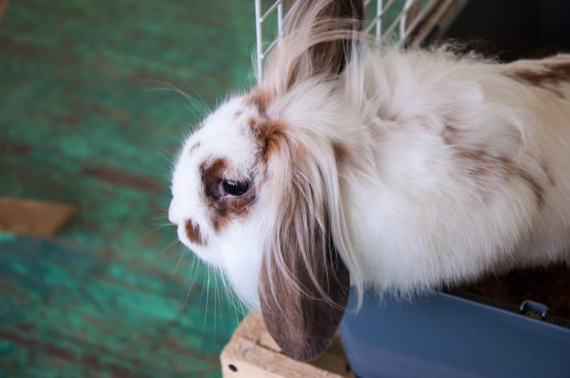 Rabbit adoption facts