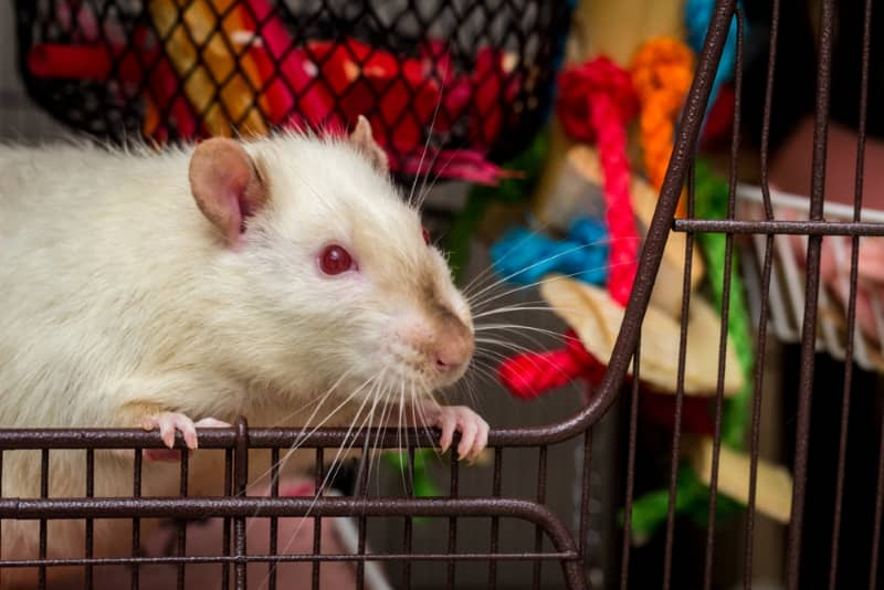 Rat coat colors