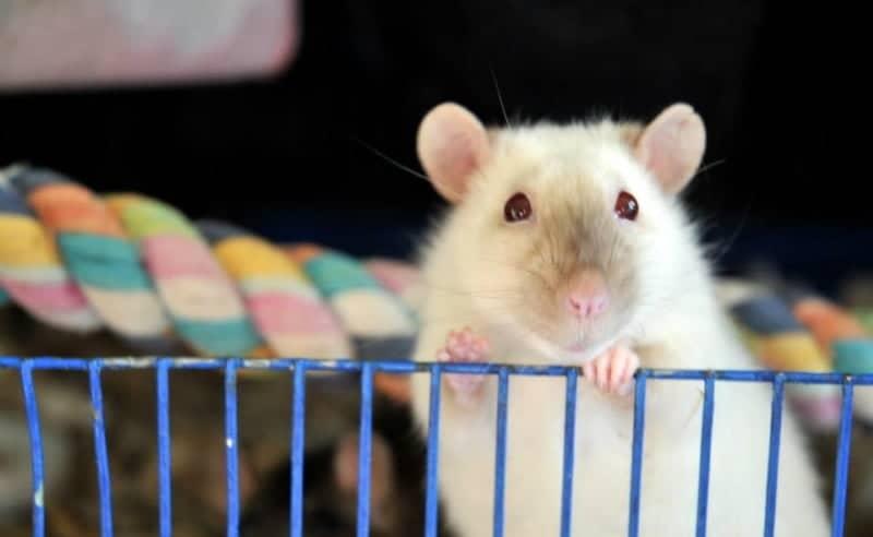 himilayan markings rat coat